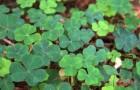 Piante e alberi purificano i terreni inquinati: assorbono le sostanze nocive restituendo ambienti sani