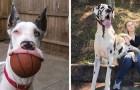 Een Duitse dog is naar verhouding even groot als dat hij gek is, dat zie je wel op deze foto's van het dagelijks leven met deze hond!