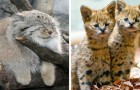 Les 18 espèces félines les plus rares et curieuses du monde
