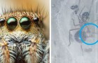 Questo curioso ragno saltellante