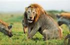 Der faszinierende Kampf zwischen dem alten Löwen und einem Rudel von Hyänen... mit einem unerwarteten Ergebnis