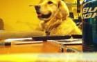 Você sabia que os cães da raça Golden Retriever adoram escutar música?