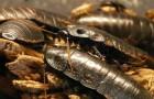 In China verwerken gekweekte kakkerlakken 50 ton aan gft-afval per dag