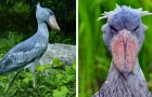 Ecco a voi l'affascinante uccello dall'aspetto preistorico che rischia l'estinzione