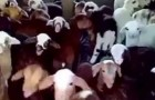 Lambs responding in chorus