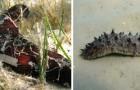 Voilà pourquoi les pêcheurs risquent leur vie tous les jours pour pêcher les précieux concombres de mer