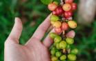 Oltre il 60% delle specie selvatiche di caffè rischia di scomparire: gli esperti lanciano l'allarme