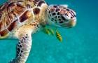 Una tartaruga marina su cinque rischia la morte per aver ingerito un solo pezzo di plastica