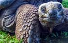 Trouvés des bébés de tortues géantes des Galápagos pour la première fois en 100 ans