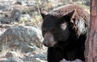 Un enfant de 3 ans s'est perdu 2 jours dans les bois : il affirme qu'un ours lui a sauvé la vie