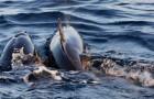 Einige Experten analysierten 50 Strandsäugetiere: alle enthielten Mikrokunststoffe im Verdauungstrakt