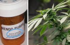 Tournant pour le cannabis : l'OMS reconnaît ses propriétés thérapeutiques