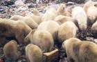 Eisbären dringen auf der verzweifelten Suche nach Nahrung in Städte ein: eine