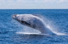 Video  Balene