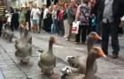 Eh oui, la parade des oies existe aussi!!