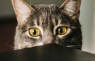 Is jouw kat neurotisch? Volgens de wetenschap weerspiegelt het eenvoudigweg je persoonlijkheid