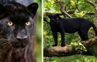 Avvistato in natura un leopardo nero per la prima volta dopo oltre 100 anni
