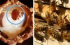 Une équipe de physiciens italiens découvre une nouvelle arme contre l'acarien tueur qui dévaste les colonies d'abeilles