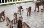 Sente dei rumori sul porticato, quando esce si trova davanti un'intera famiglia di linci che giocano