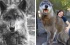 Video Video's van wolven Wolven