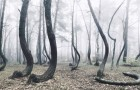 In Polen gibt es einen Wald mit schiefen Bäumen: Die Entstehung ist bis heute ein Mysterium
