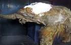 Wissenschaftler haben die Zellen eines 28.000 Jahre alten Mammuts wiedererweckt.... mit beunruhigenden Ergebnissen