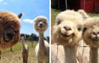 21 foto di alpaca che vi faranno sorridere anche nella giornata più storta