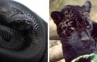 11 animaux que le mélanisme a rendu plus noirs que la nuit, créant un effet étonnant