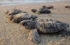 Les bébés tortues sont de retour à Mumbai, après