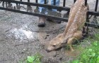 Baby deer stuck in a gate is rescued !