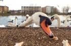 Donner du pain aux oiseaux d'eau n'est pas un geste d'amour : en France, 30 cygnes sont morts à cause des touristes