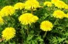 Tutti conosciamo questa pianta, ma l'abbiamo sempre sottovalutata: tutti i benefici del