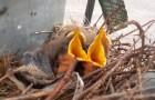 Un nid d'oiseaux dans une station de 115.000 volts