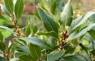 It has been used for thousands of years for its multiple properties. Here are all the benefits of the laurel tree.