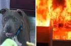 Das ganze Haus fängt Feuer und ein Mädchen ist noch im Haus, aber die Reaktion des Pitbulls rettet ihr Leben
