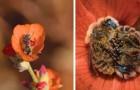 Un fotografo scopre due api che dormono in un fiore: lo scatto è di una dolcezza contagiosa