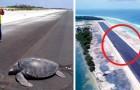 Die Schildkröte kehrt zum Strand zurück, um ihre Eier zu legen, aber dort gibt es eine Landebahn, die sie willkommen heißt