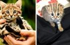 Voici le plus petit chat du monde : il vit en Inde et peut tenir dans la paume de la main