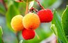 Sie wird oft unterschätzt, gehört aber zu den überraschendsten Früchten: Hier sind alle Vorteile des Erdbeerbaums