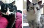 Elli, la gattina nera che ora sta diventando bianca a causa di una rarissima condizione