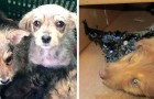 Volontärerna hittar 4 hundar fast i tjära men inser att de fortfarande kan rädda dem