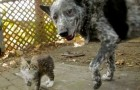 Dog and disabled kitten play together...