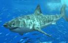De grote witte haai staat niet aan de top van de voedselketen: de orka's laten hem ook vluchten