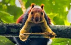 India: un fotografo cattura meravigliose immagini dello scoiattolo arcobaleno che può arrivare al metro di lunghezza
