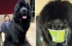 21 photos that prove living with a Newfoundland dog in your home is a lot of fun!