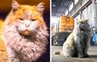 Deze kat, opgegroeid in een treinstation, trekt toeristen aan dankzij zijn ongelooflijke uiterlijk