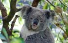Onderzoekers verklaren koala's