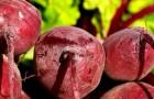 La remolacha: aquí todos los beneficios de esta hortaliza de propiedades sorprendentes