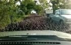 Uno sciame di 100.000 anatre percorre una strada in Thailandia