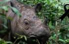 L'ultimo rinoceronte di Sumatra maschio è morto in Malaysia: l'estinzione è ormai dietro l'angolo